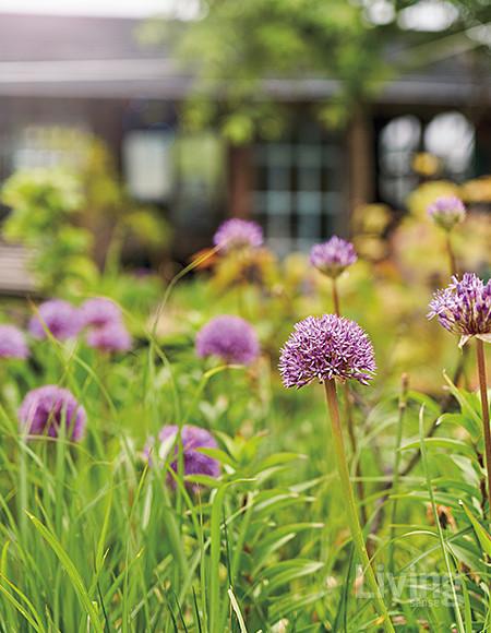 관상용으로 기르는 마늘과 식물 알리움. 가을에 심을 때는 마늘 냄새가 진동했는데, 튤립이 지고 나니 꽃이 활짝 폈다.<br />